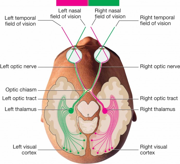 Optic nerve, optic chiasm, thalamus, and visual cortex.